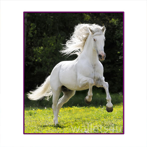 Magic Wallet, Horse, White - MWAP0099